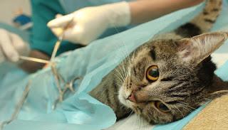 5 Fakta Mengapa Kucing Lebih Baik Dikebiri