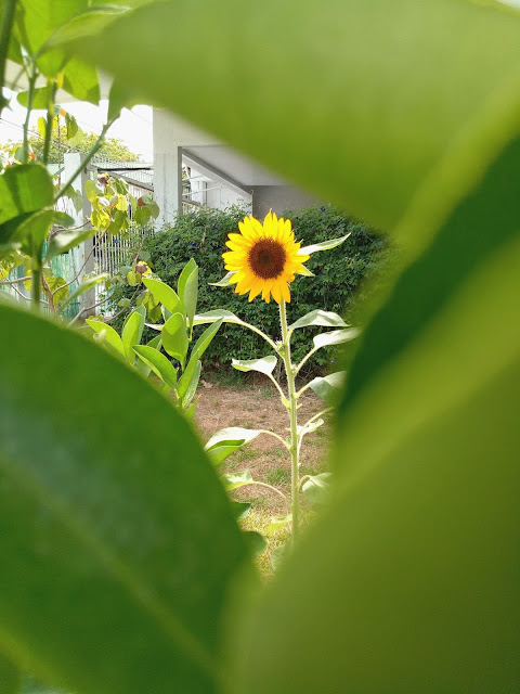 Sunflower in the garden in the middle of green foliage