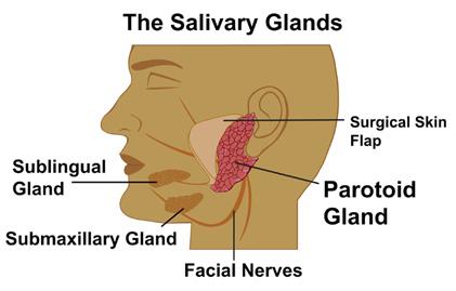 Submandibular Gland Function