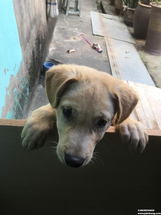生活|拉布拉多成長日記、三個月幼犬活蹦亂跳