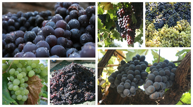 Everything You Need To Know About Growing Grapes Permaculture