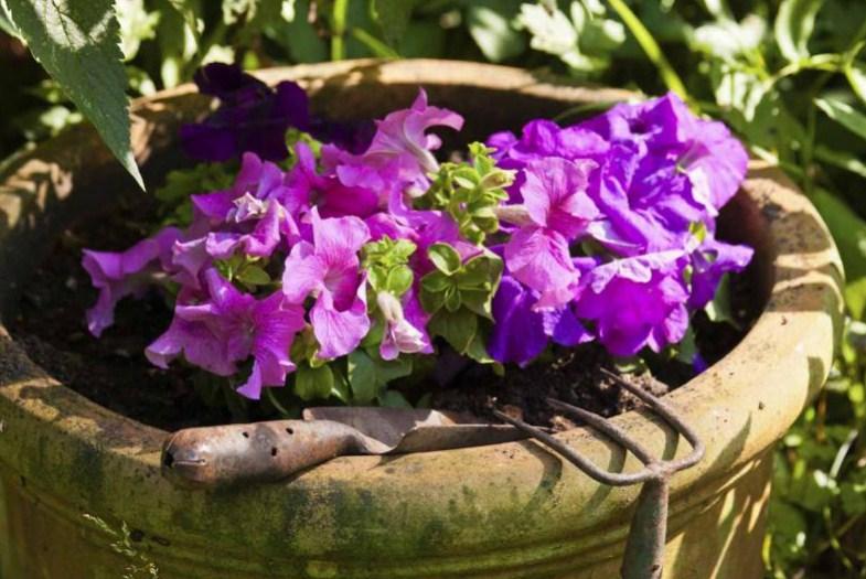 How to Grow Petunias in Pots