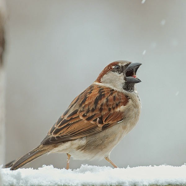 http://commons.wikimedia.org/wiki/File:Male_House_Sparrow_open_beak.jpg