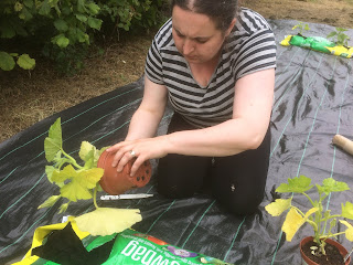 Planting pumpkins in a growbag