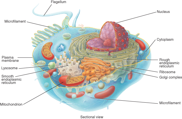 learning about cells for bio or Molecular cell biology - the rapid learning series this 24-chapter series provides a comprehensive coverage of molecular and cell biology, taught graduately and.