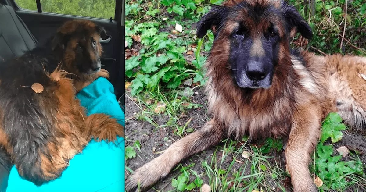 German Shepherd Digs Himself Out Of Grave After Being Buried Alive By His Owners