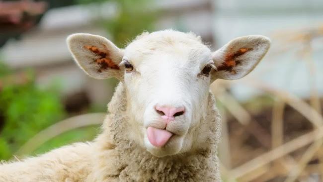 Μυτιλήνη: Τον μαχαίρωσε γιατί... το πρόβατο μπήκε στο χωράφι του - Χαροπαλεύει στο νοσοκομείο