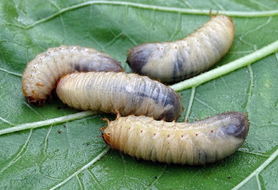 Le larve dei cetonini aiutano a fare il compost in casa.
