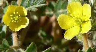 شاي نبات الحسك لعلاج ضعف الانتصاب