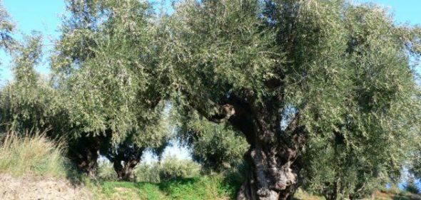 شجرة الزيتون وفوائدها اقرا التفاصيل