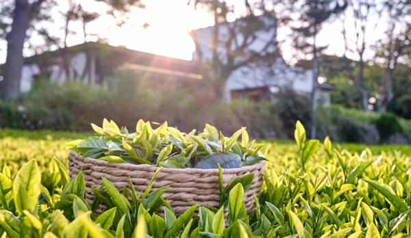 Innisfree, Airbnb, green tea farms in Jeju Island, South Korean, Jeju Island, Dolsongyi tea farm, Seogwang tea farm, tea, green tea, tea ceremony , skincare products, overnight stay, green tea picking