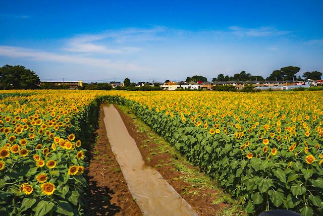 ハイアングル,ひまわり,ひまわり畑,夏