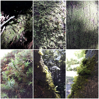 Collection of moss photos from Tunbridge Wells Common