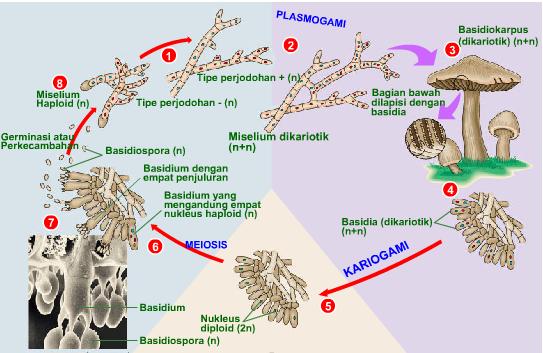 Spora seksual pada basidiomycota asexual reproduction