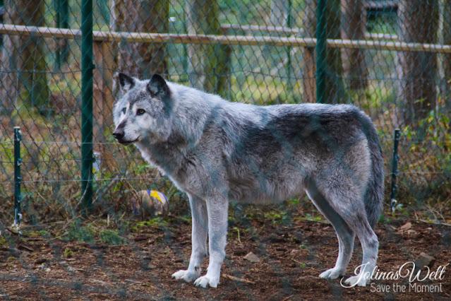 Wölfe werden gefüttert