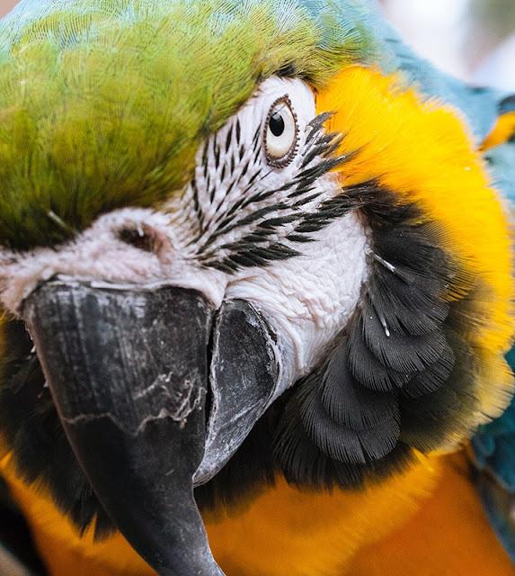 Dongeng: Ambo Upe dan Burung Beo (Cerita Rakyat SulSel)