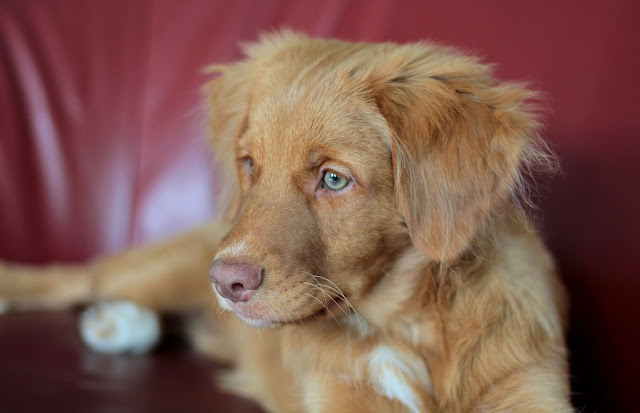 The life stages of dogs, illustrated by this Toller puppy