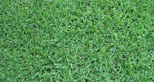 Floratam St augustine grass Seed, Problems, Reviews, Maintenance