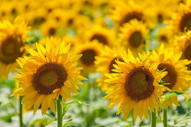 słoneczniki, sunflower, arels, france, francja,  wakacje z dzieckiem, vacansoleil opinie, lazurowe wybrzeże przewodnik, langwedocja przewodnik, kempingi vacansoleil, podróże z dzieckiem