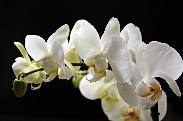 Orquídea de flor blanca