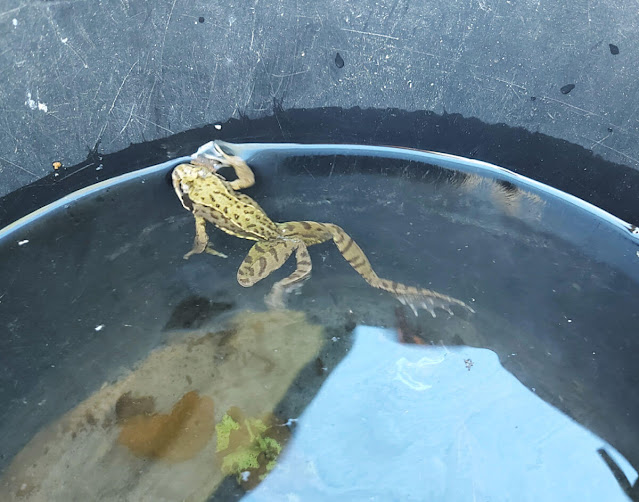 A small green frog in a black bucket of water