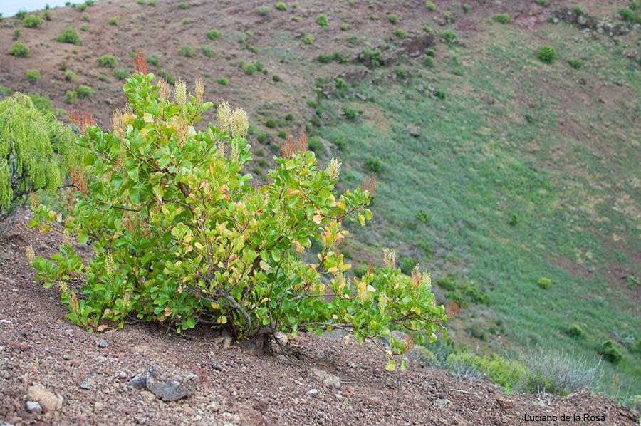 La vinagrera (Rumex lunaria). Abundante también en la montaña de Güímar.