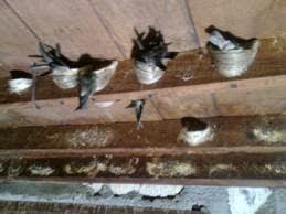 Pada Hari Keberapa Burung Walet Mulai Menginap Di Rumah Walet Baru