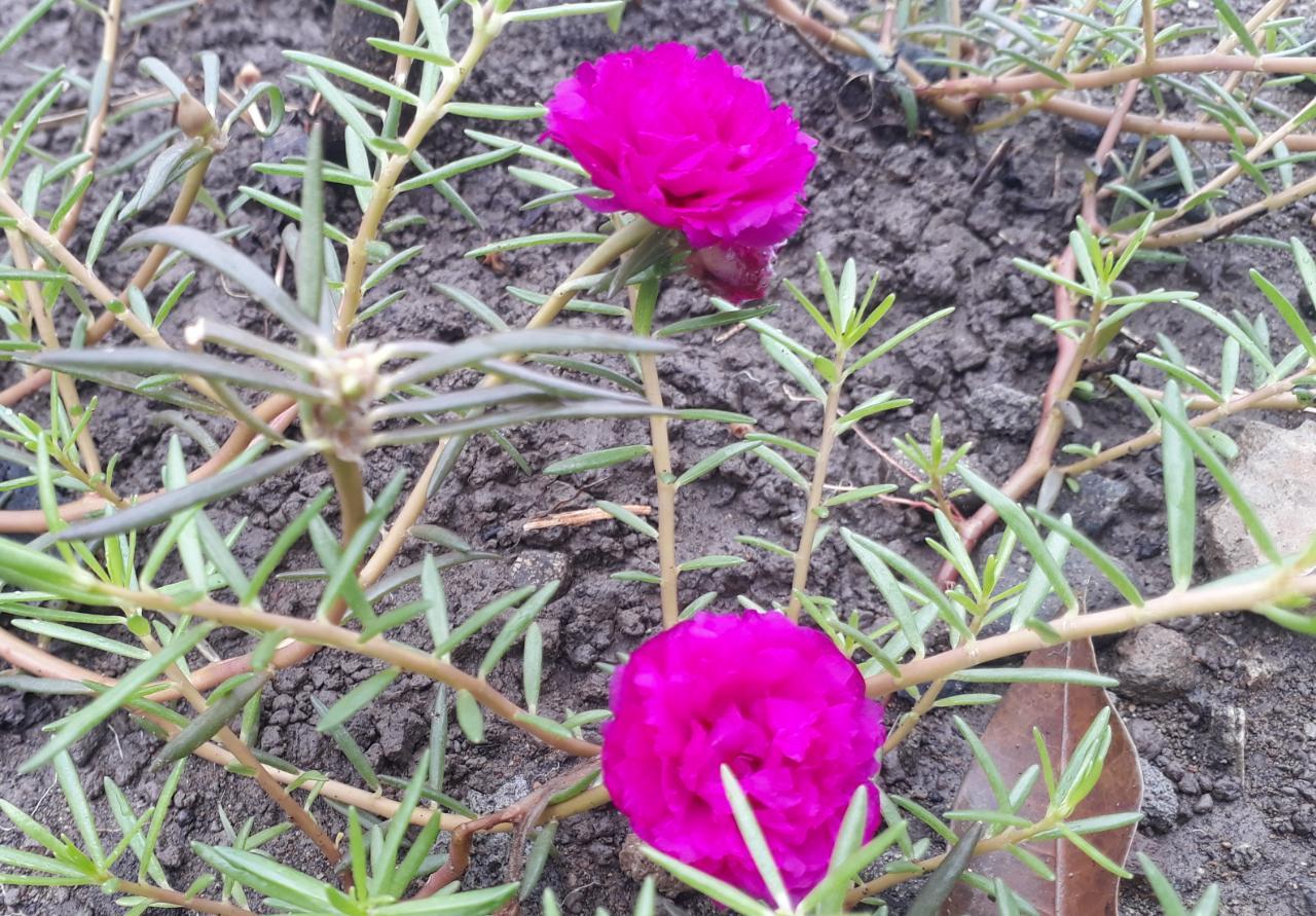 mawar tanah