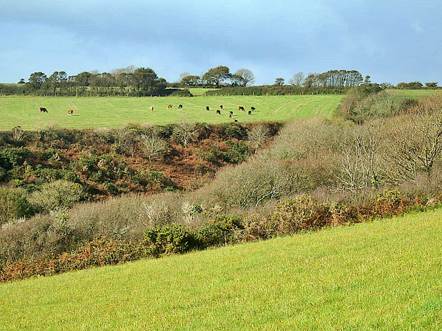 Green fields and cows, looking from coastal path near Fowey, Cornwall