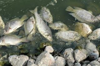 WASPADA, Virus Tilavia Lake Virus Untuk Pembudidaya Ikan