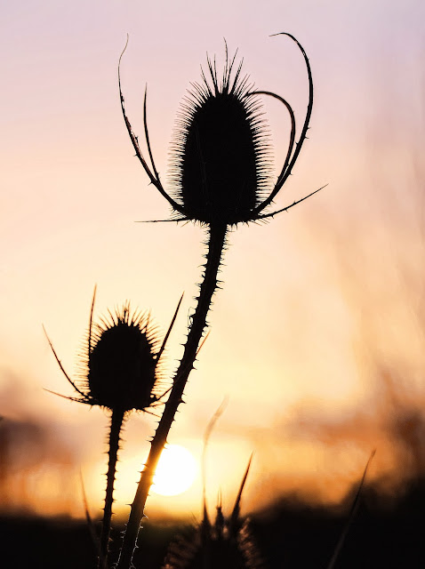 Two teasel seed heads silhouetted against the rising sun