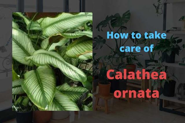 Calathea-ornata-plant-care-guide-(The-Pinstripe-Plant)
