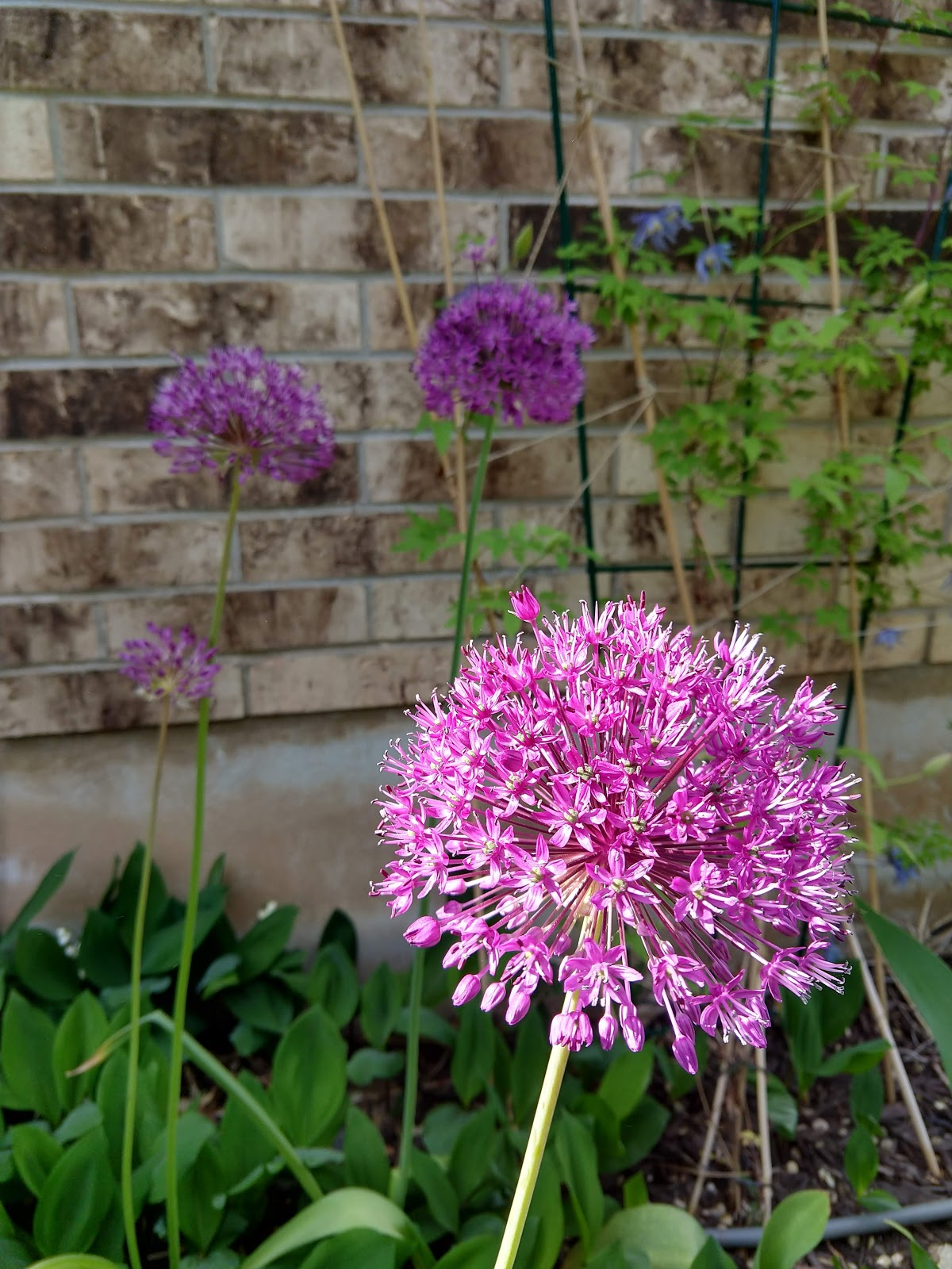 Allium in bloom // www.thejoyblog.net