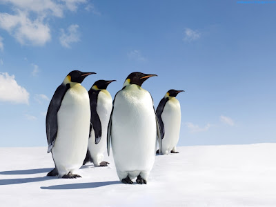 Penguins Standard Resolution HD Wallpaper 3