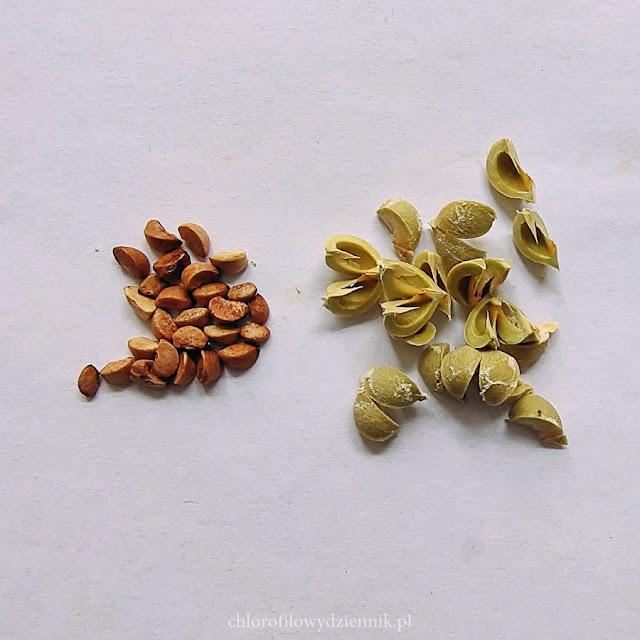 Jak wysiać liściokwiat garbnikowy amlę indyjski agrest z pestki nasionka wysiew egzotyków roslin tropiklanych uprawa w domu hodowla wzrost podlewanie