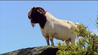 Boer Goat Disadvantages, Advantages, Characteristics, Price