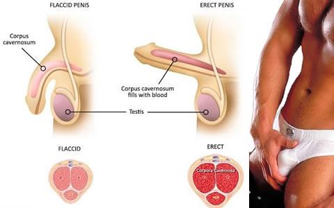 Erect Male Penis 58