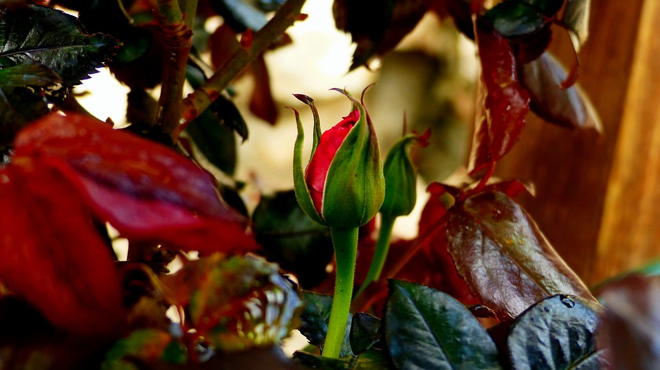 Basic Rose Gardening Tips Can Make a Difference to caring for your