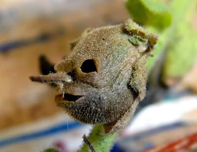 tanaman bunga hias Snapdragon, Bunga Ini Akan Berubah Menyerupai Tengkorak Manusia Saat Layu
