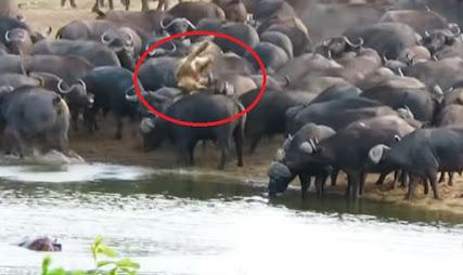 Singa malang ditanduk kawanan kerbau