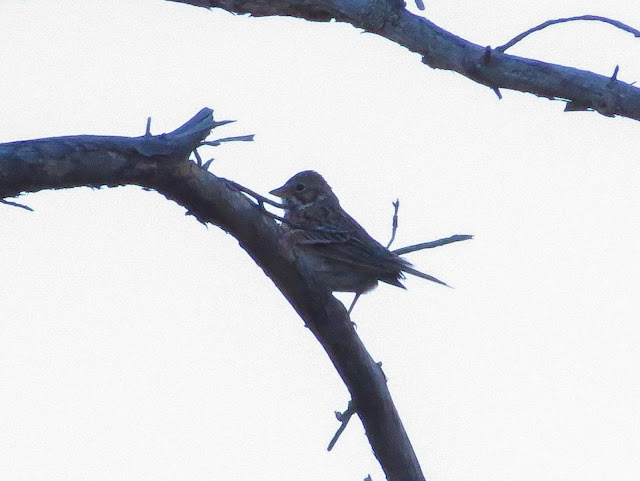Vesper Sparrow - Grayling Forest, Michigan, USA