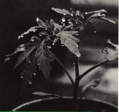 Gambar Peristiwa gutasi pada daun