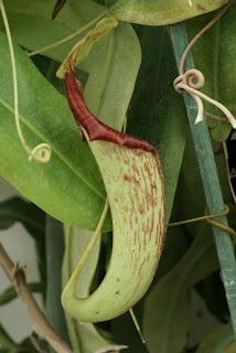 Nepenthes maxima var. superba - Plante carnivore