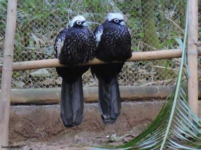 Jacutinga, ave, pássaro, aves do Brasil, Save Brasil, birds, birdwatching, extinção, natureza, animais, conservação, preservação, que bicho é