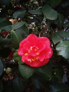 Deep pink camellia blossom.