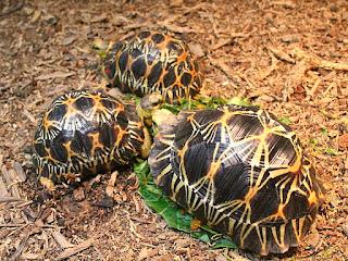 merawat-kura-kura-radiata.jpg