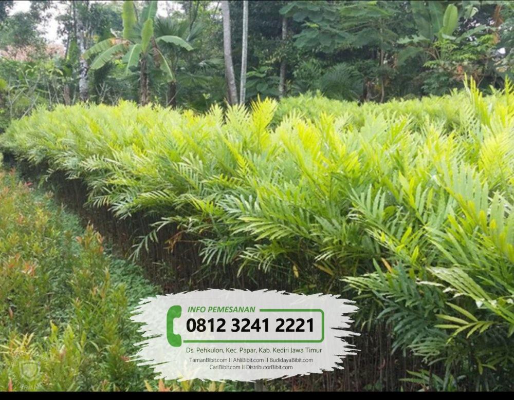 Jual Bibit Pohon Pinisium / Kiara Payung