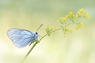 mariposa-de-alas-azules