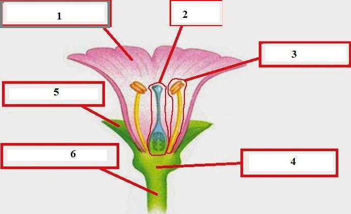 Gambar Bagian Bunga Melati Dan Cara Penyerbukannya Tema 1 Kelas 6 Berbagai Bagian Penting