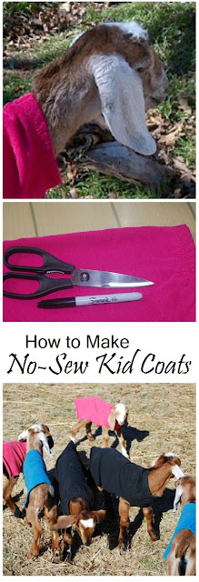 How to make no-sew kid coats to keep your goat kids warm in cold weather. | from Oak Hill Homestead